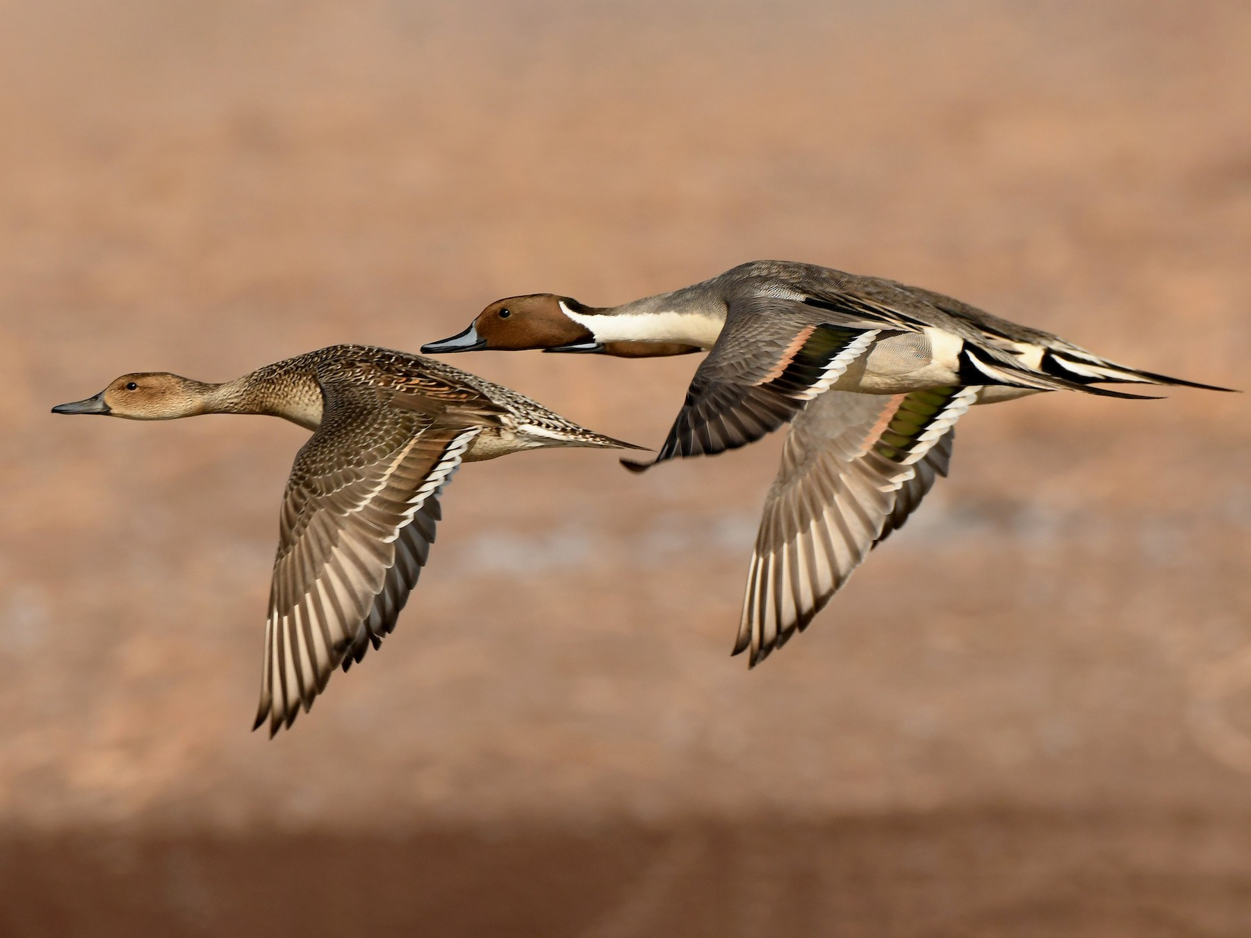 Northern Pintail - Tony Battiste