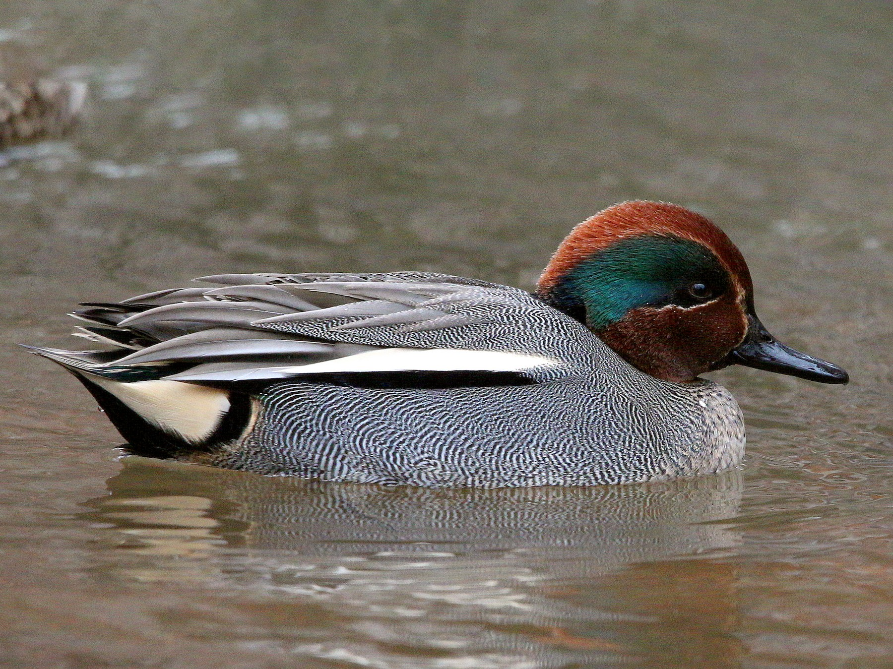 Green-winged Teal - Charles  Fitzpatrick