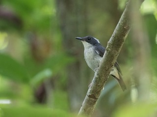 - Little Slaty Flycatcher