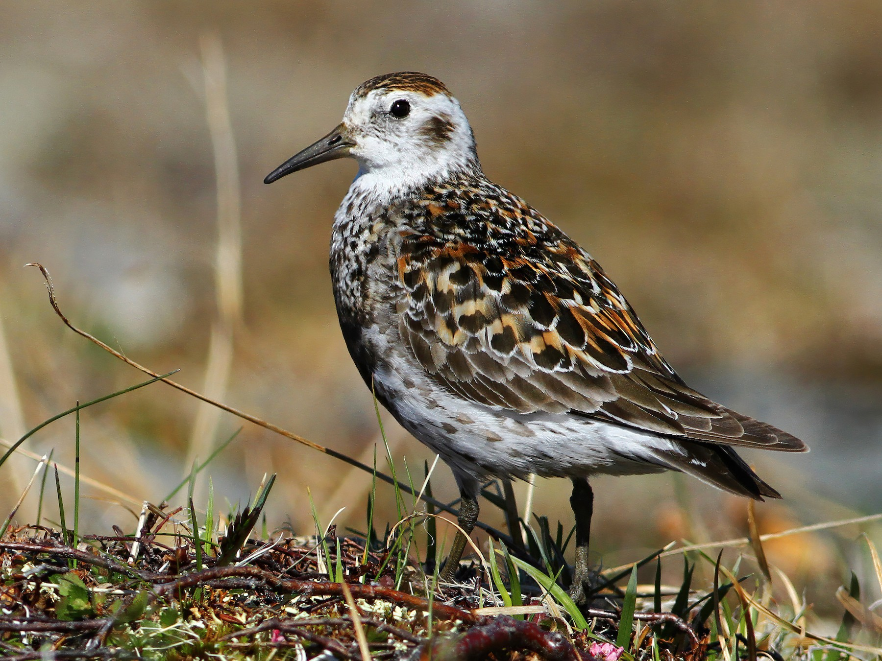 Rock Sandpiper - Andrew Spencer