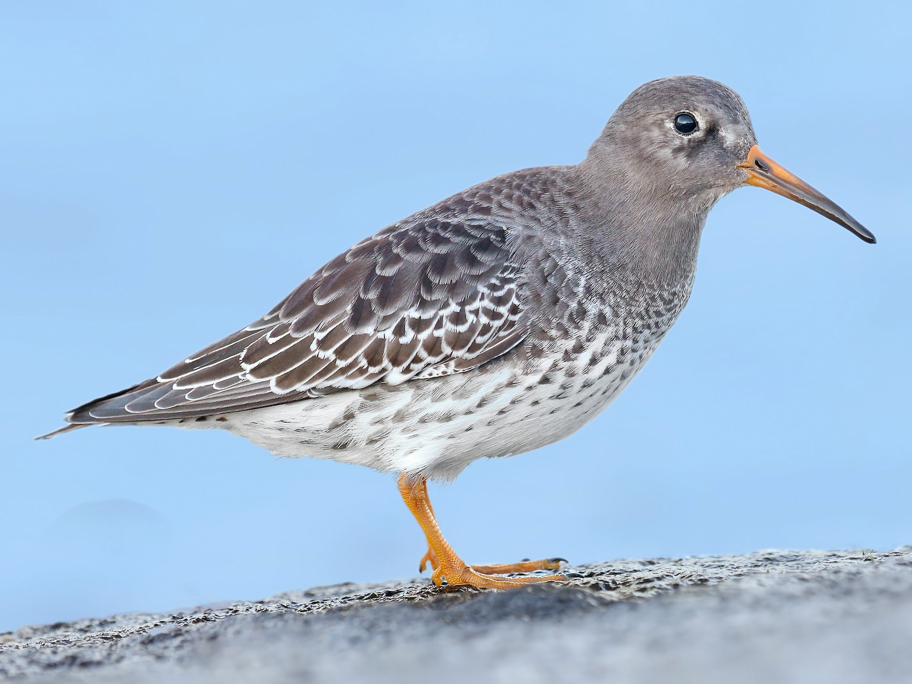 Purple Sandpiper - Ryan Schain