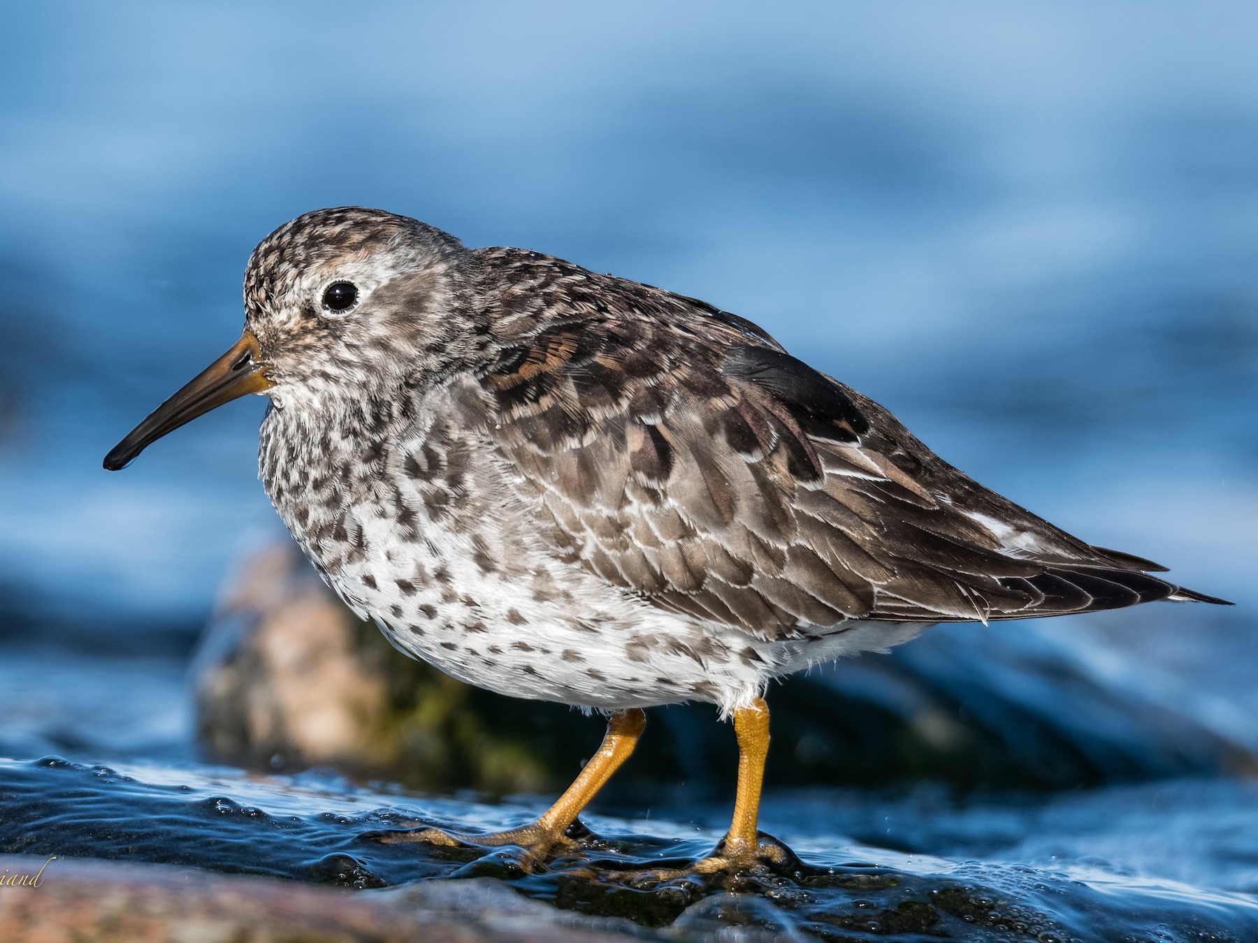 Purple Sandpiper - Christian Briand