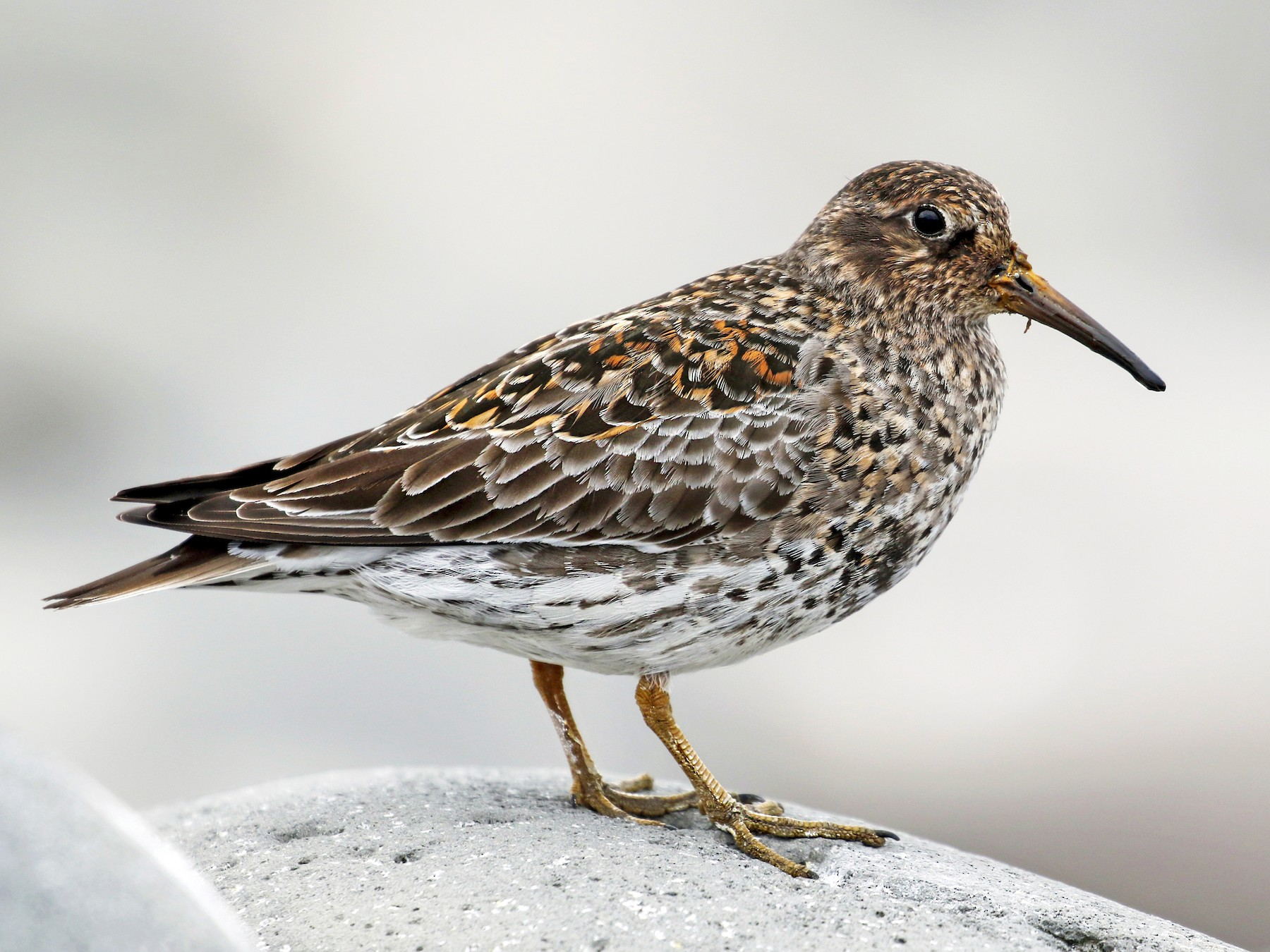 Purple Sandpiper - Andrew Spencer
