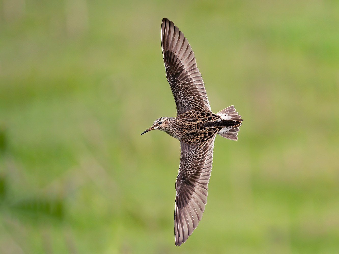 Pectoral Sandpiper - Geoff Newhouse