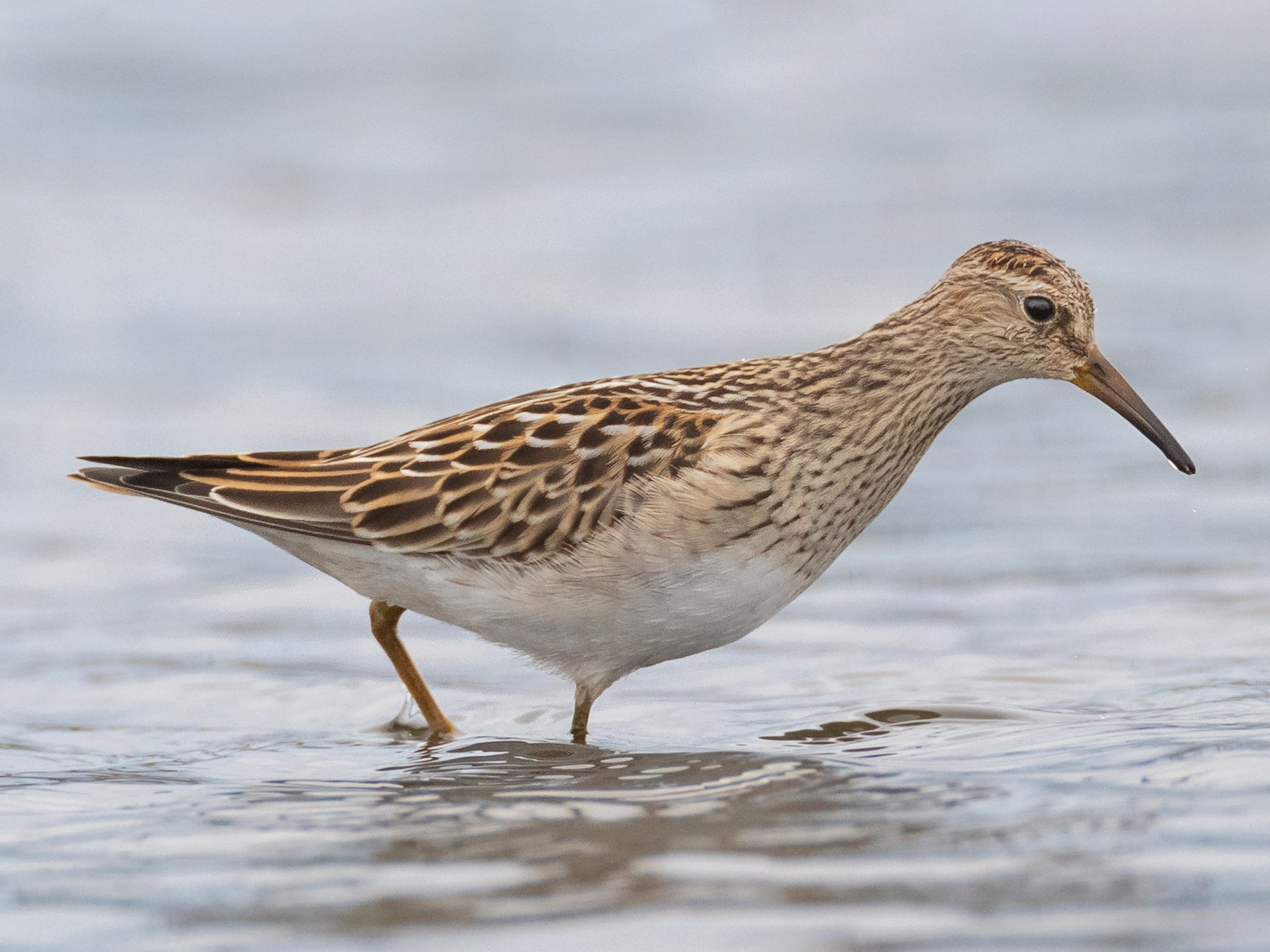 Pectoral Sandpiper - Paul Jones