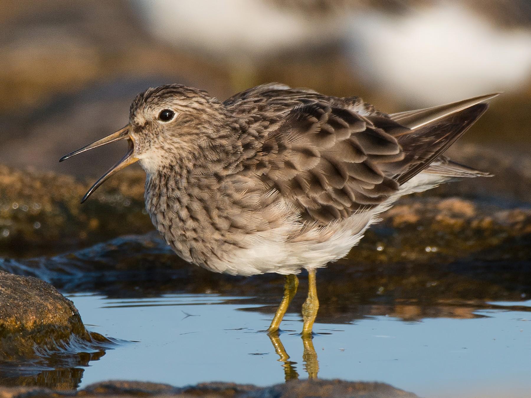 Pectoral Sandpiper - Chris Rehberg  | Sydney Birding