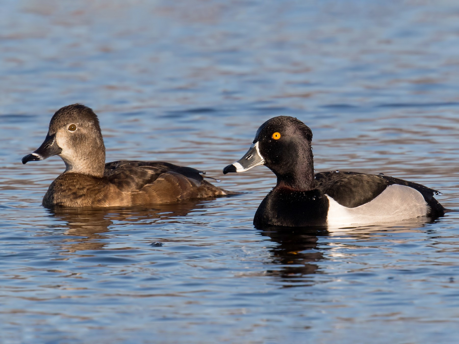 Ring-necked Duck - Darlene Friedman