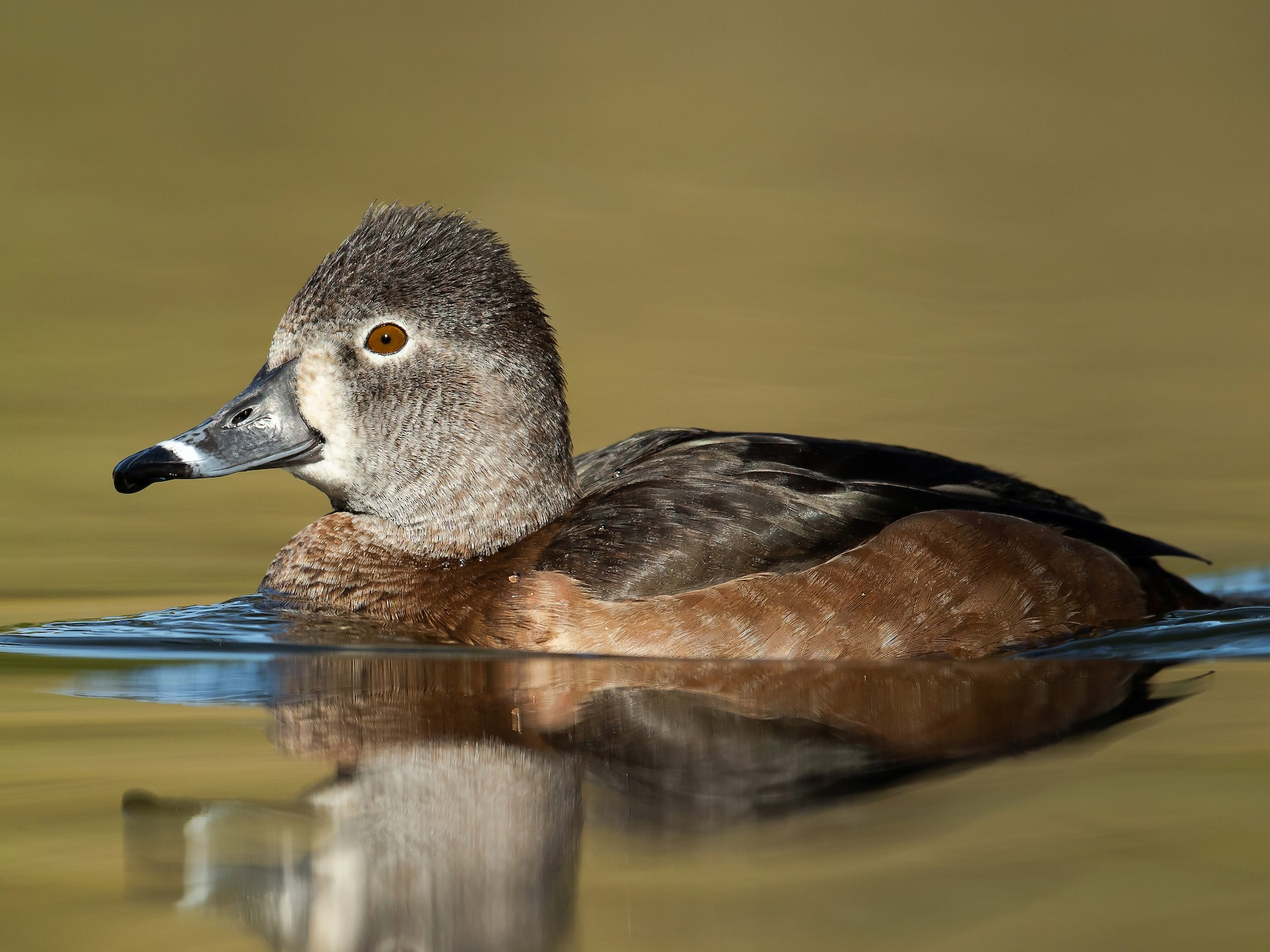 Ring-necked Duck - Dorian Anderson