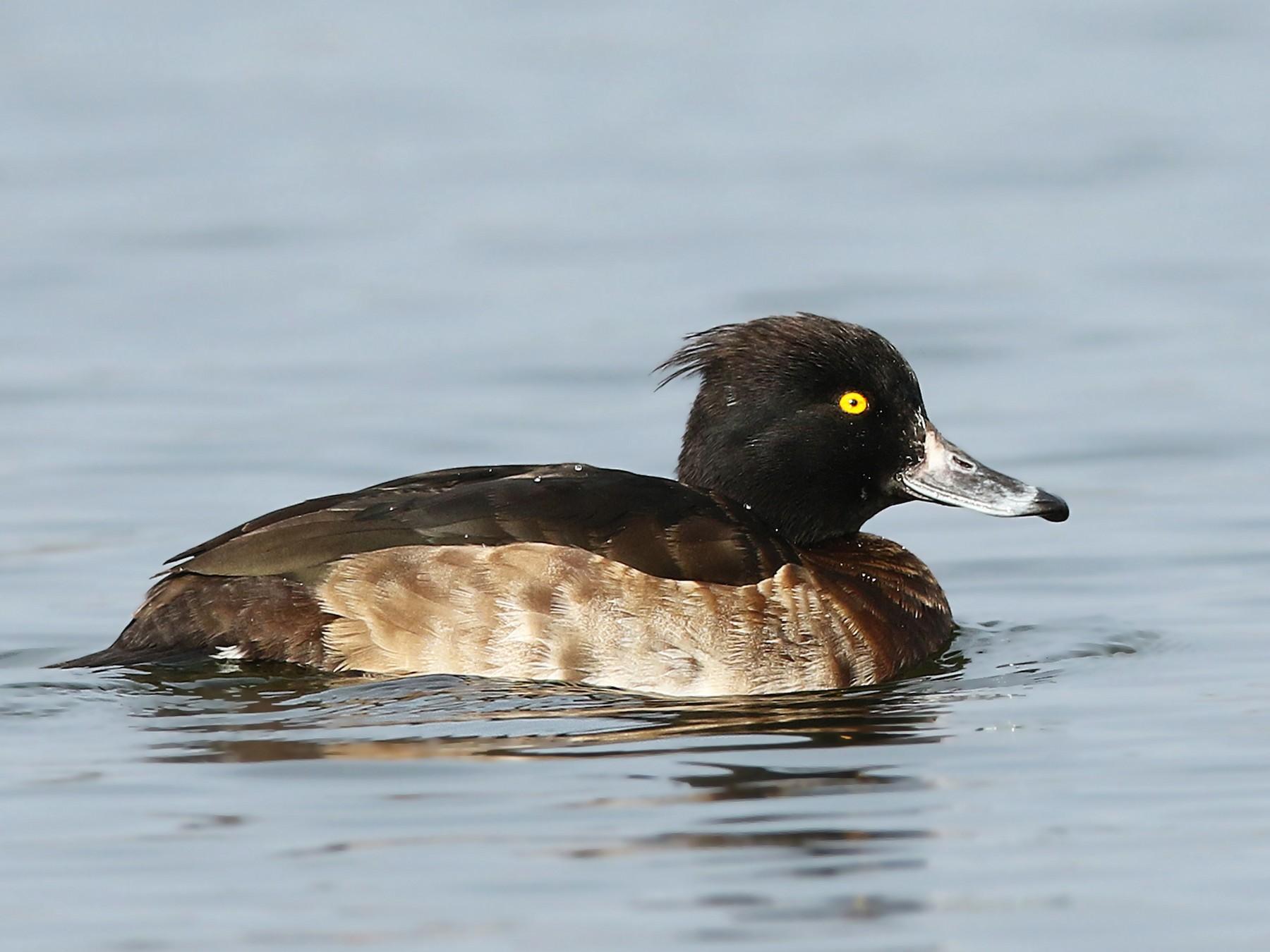 Tufted Duck - Volker Hesse