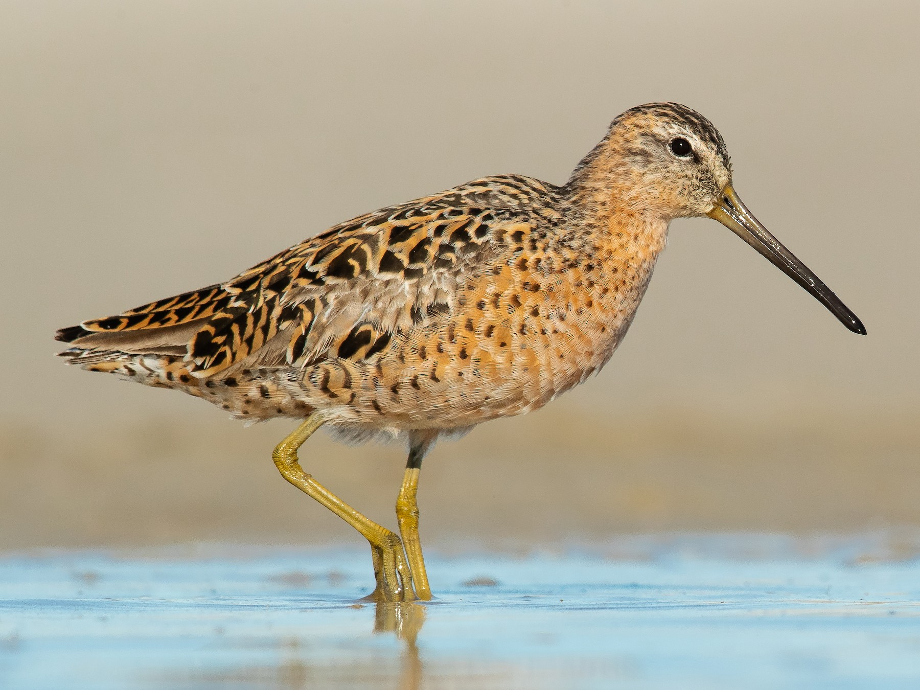 Short-billed Dowitcher - Dorian Anderson
