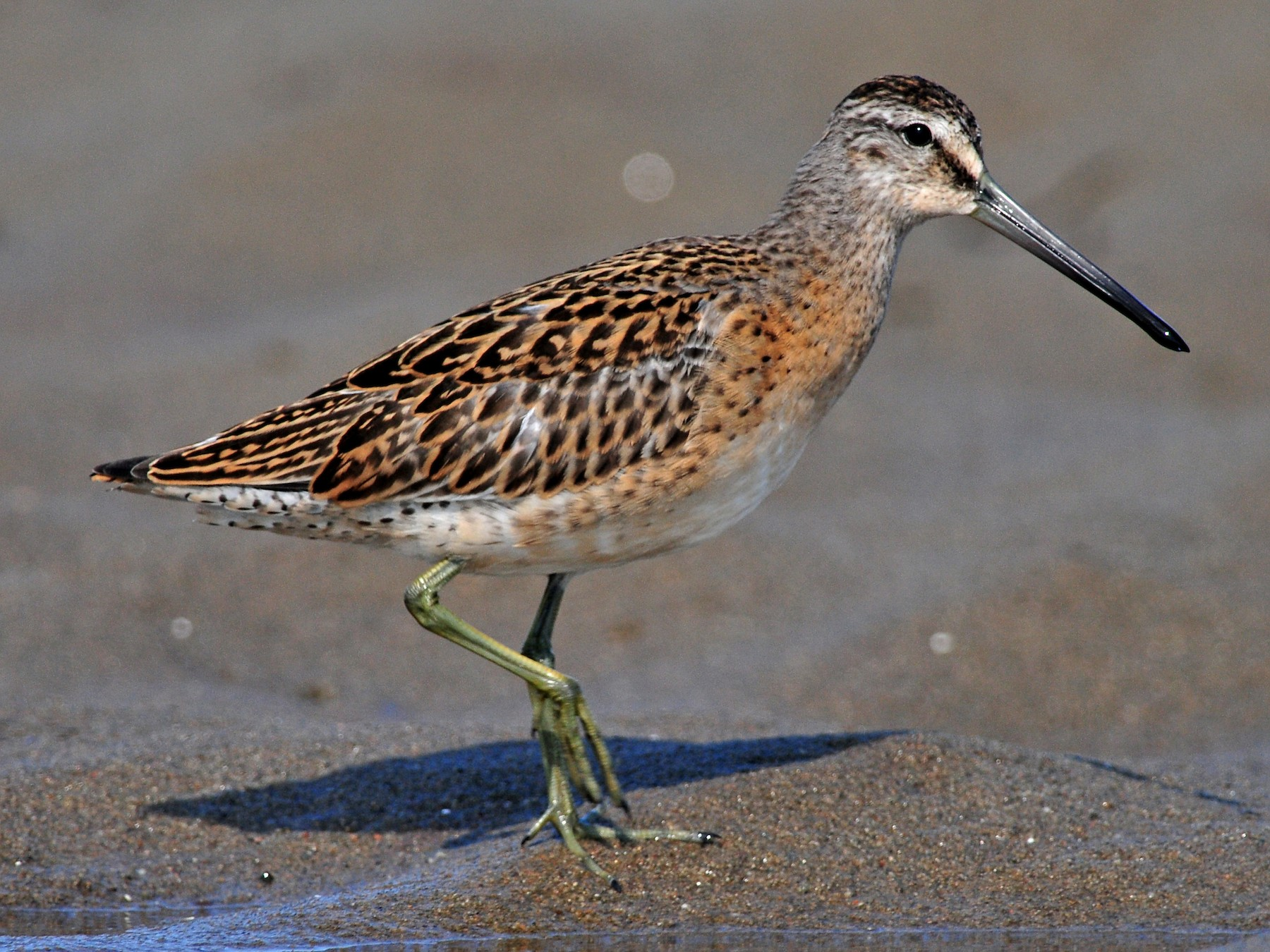 Short-billed Dowitcher - Denis Doucet