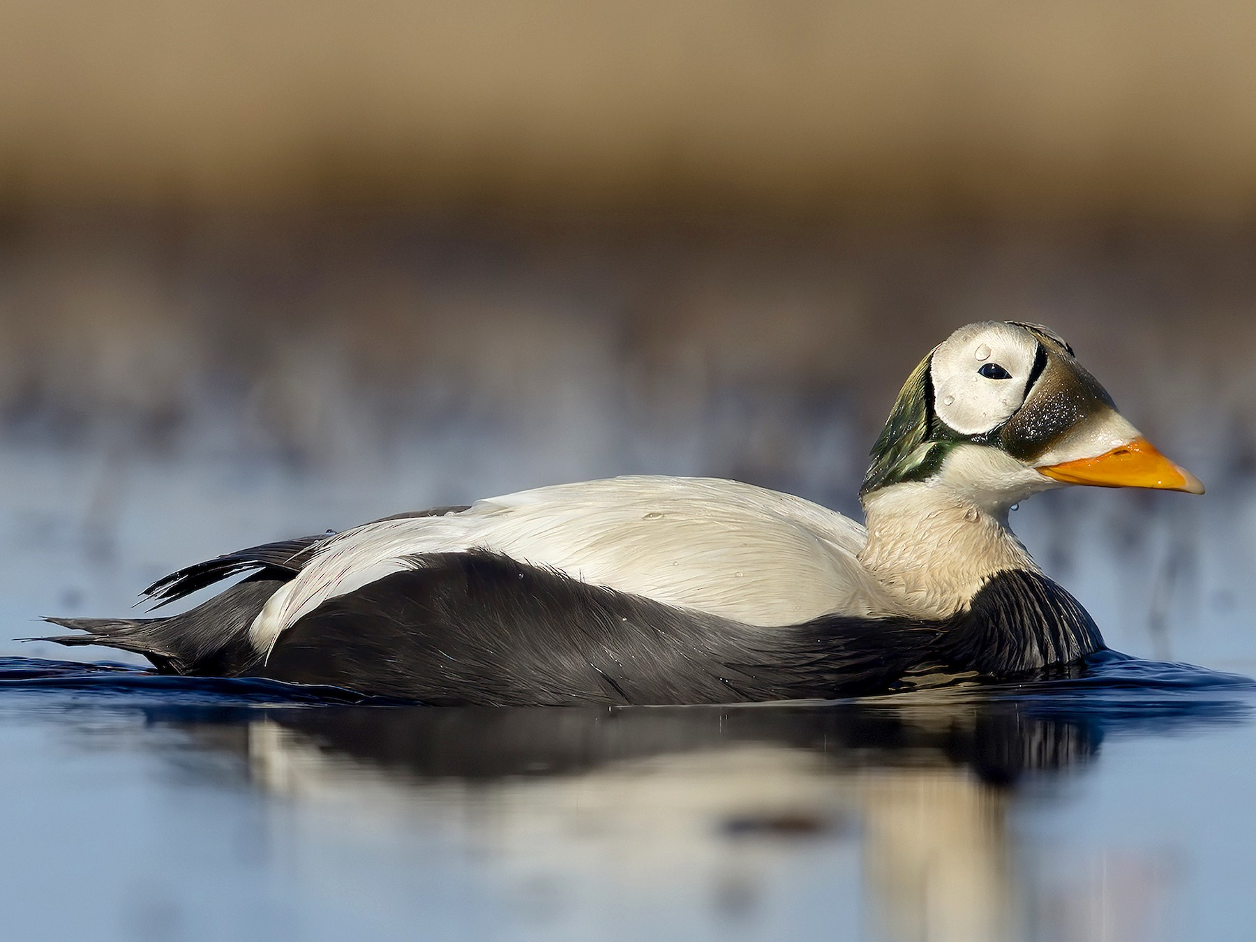 Spectacled Eider - Marco Valentini