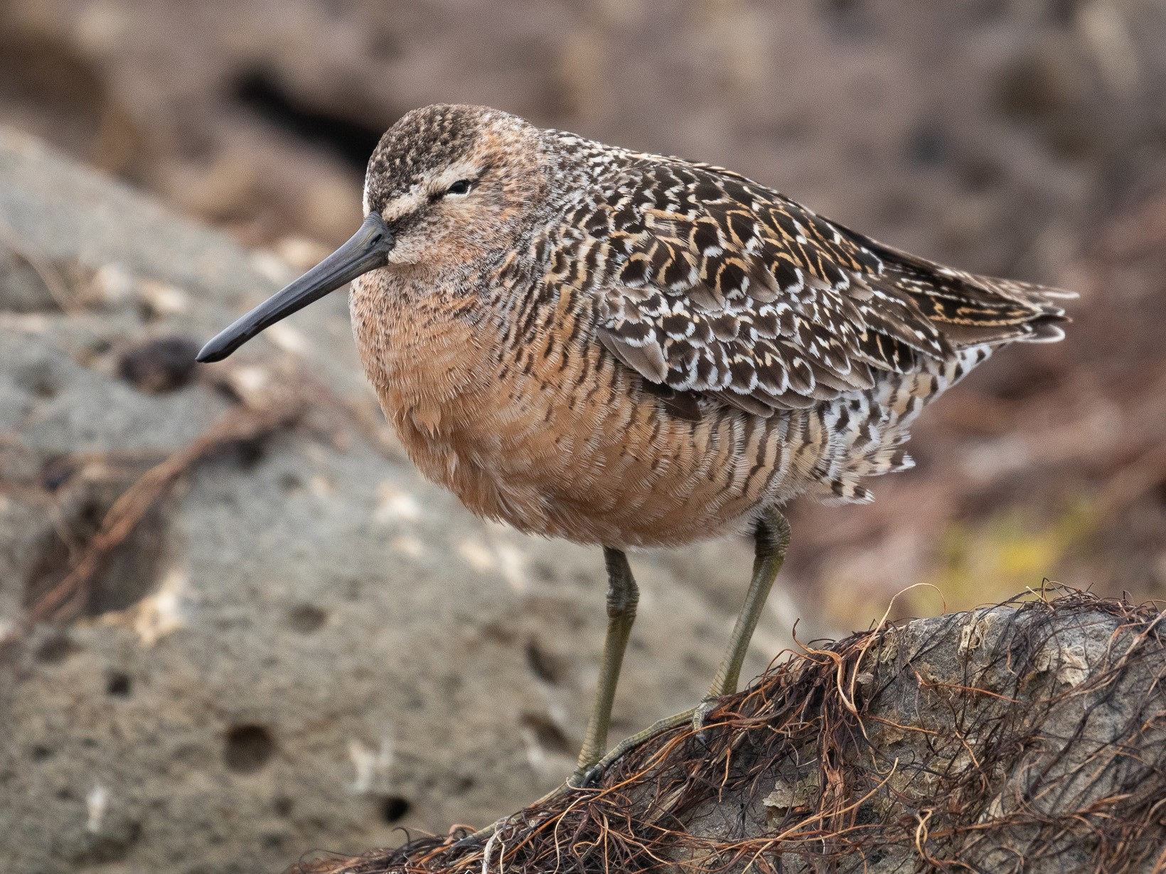Long-billed Dowitcher - Sulli Gibson