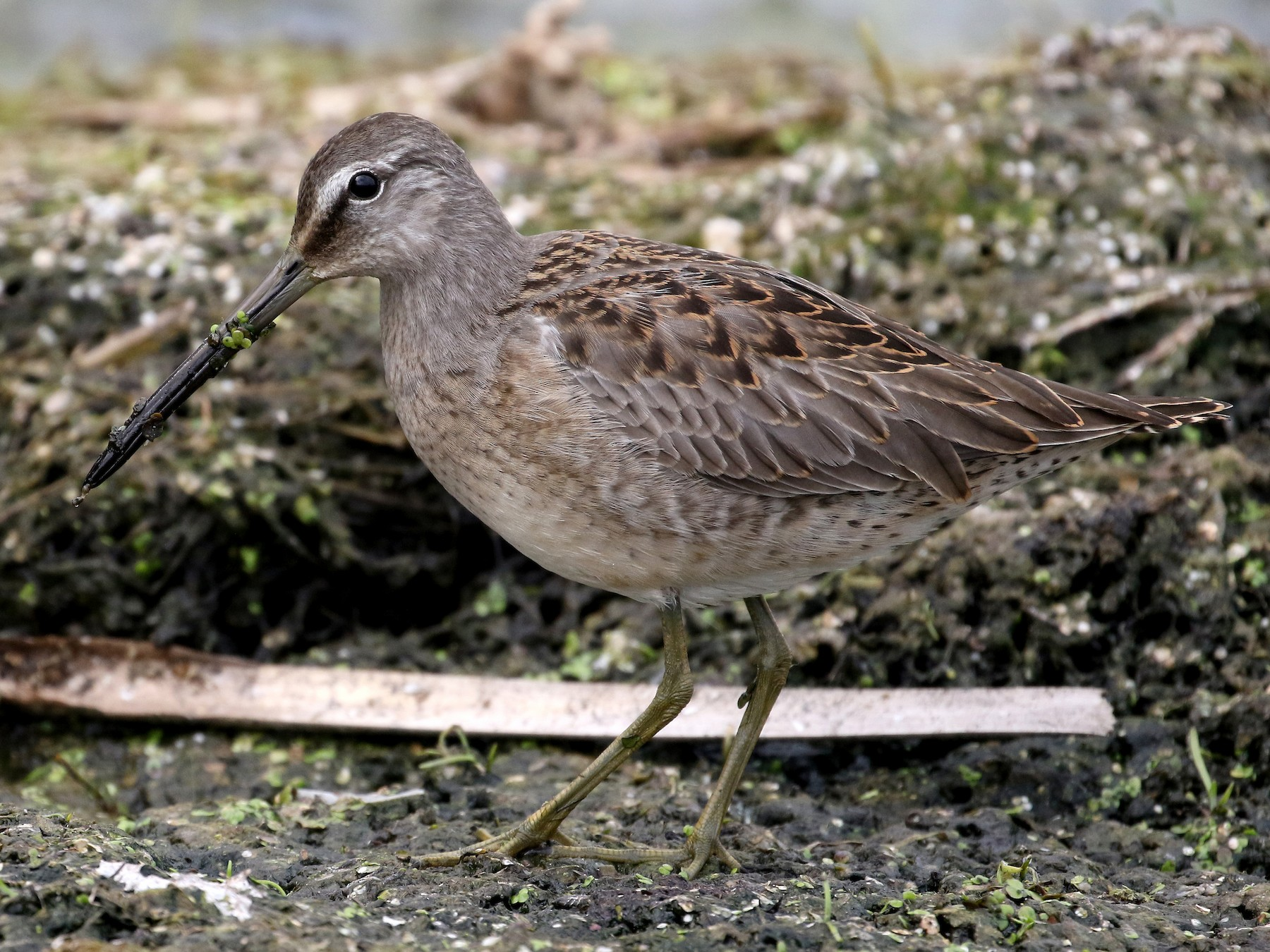 Long-billed Dowitcher - Jay McGowan