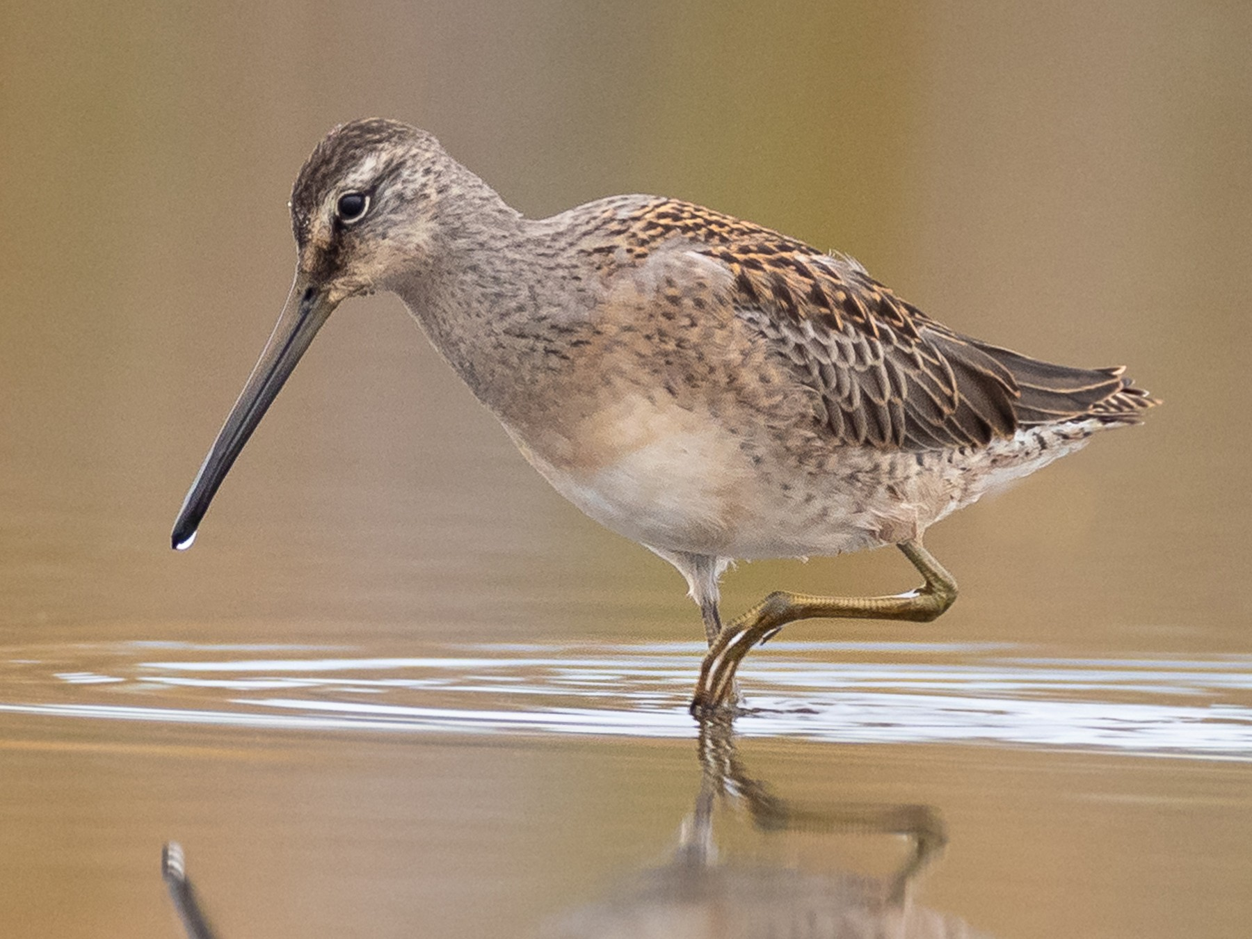 Long-billed Dowitcher - Paul Jones