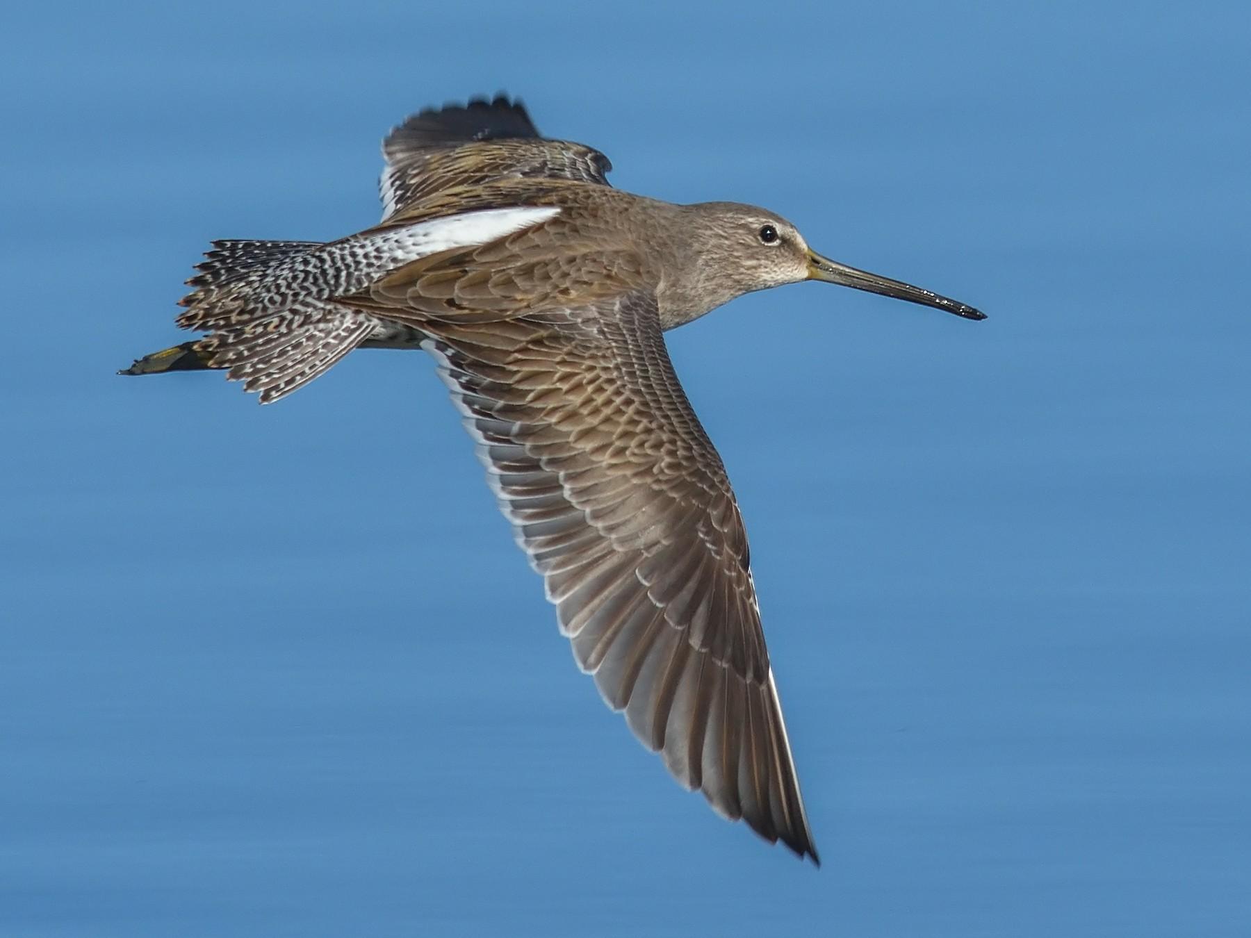 Long-billed Dowitcher - Jerry Ting