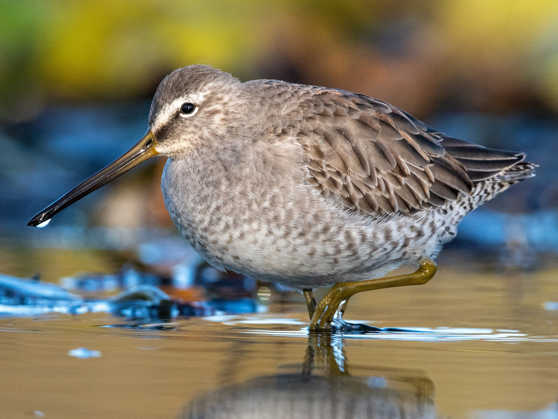 Long-billed Dowitcher - James MacKenzie