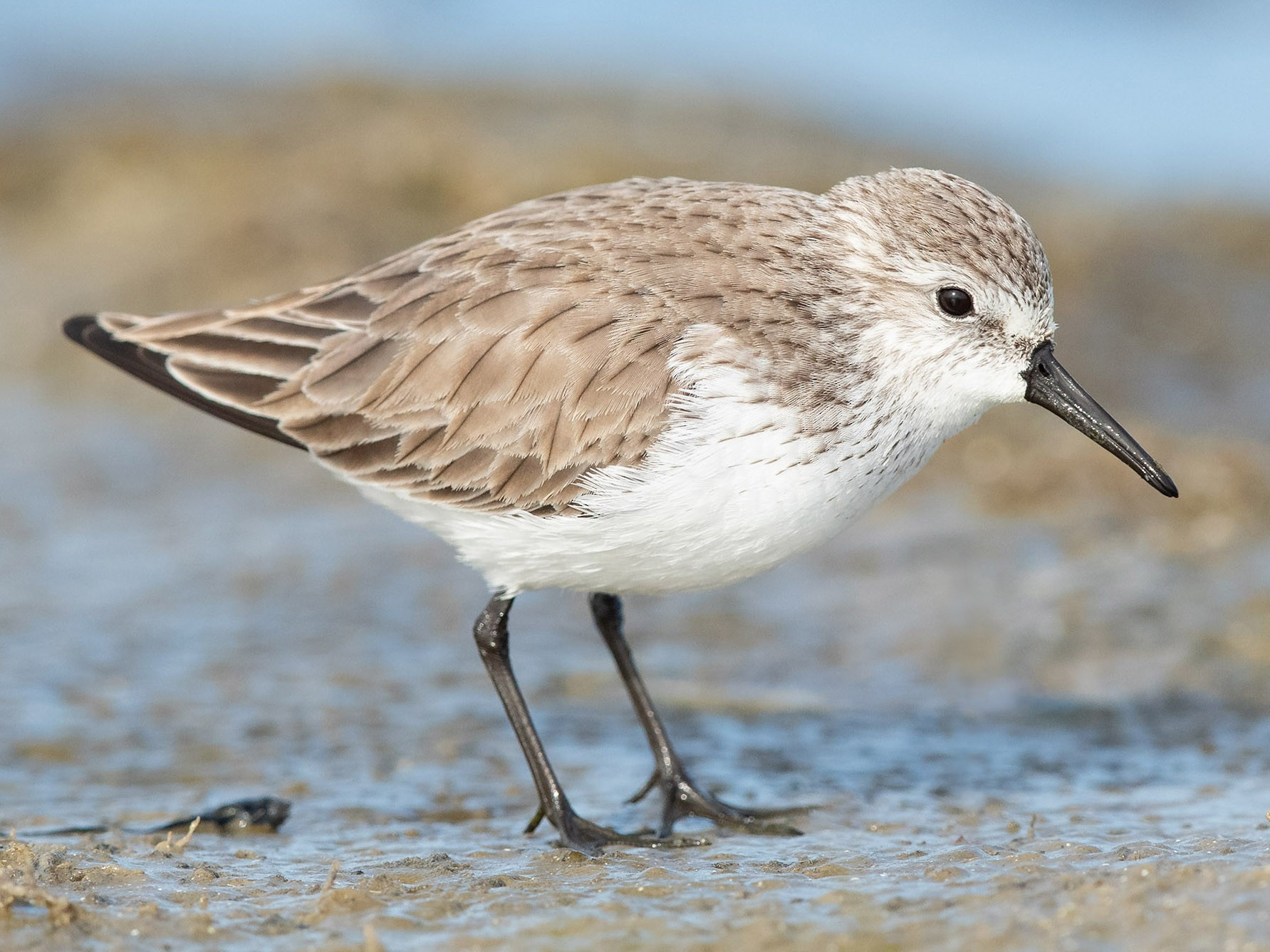 Western Sandpiper - Mike Cameron