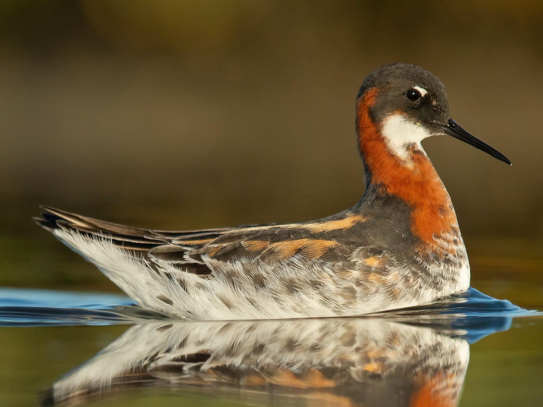 Red-necked Phalarope - Dorian Anderson