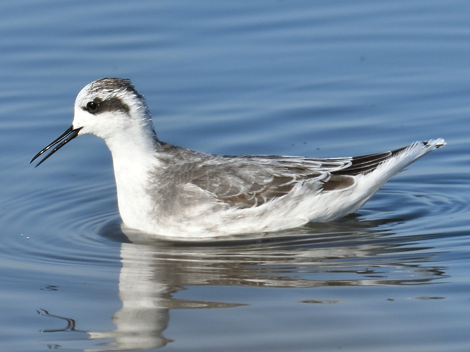 Red-necked Phalarope - Douglas Ball