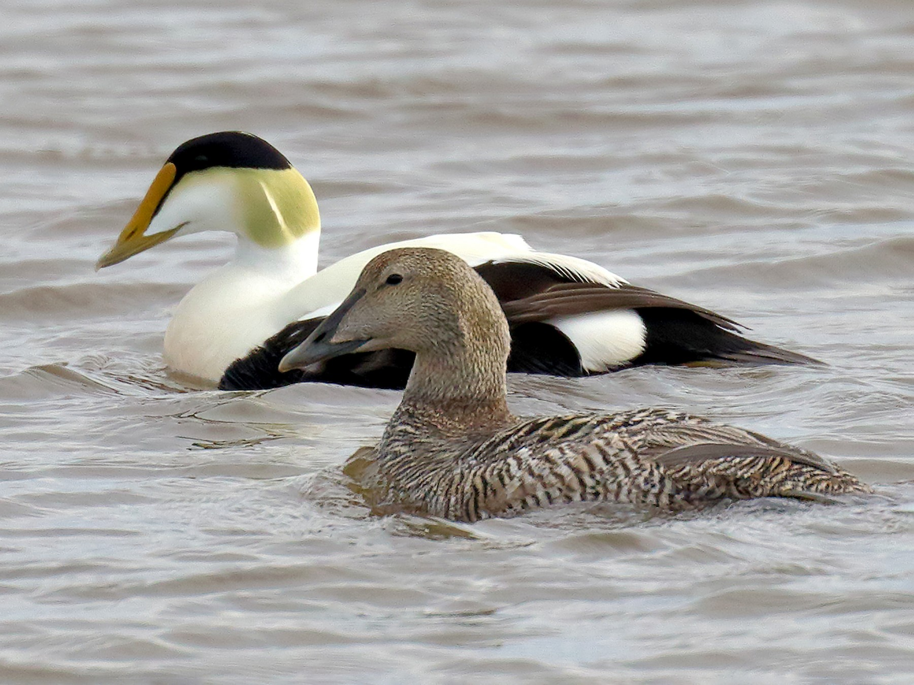 Common Eider - Ian K Barker