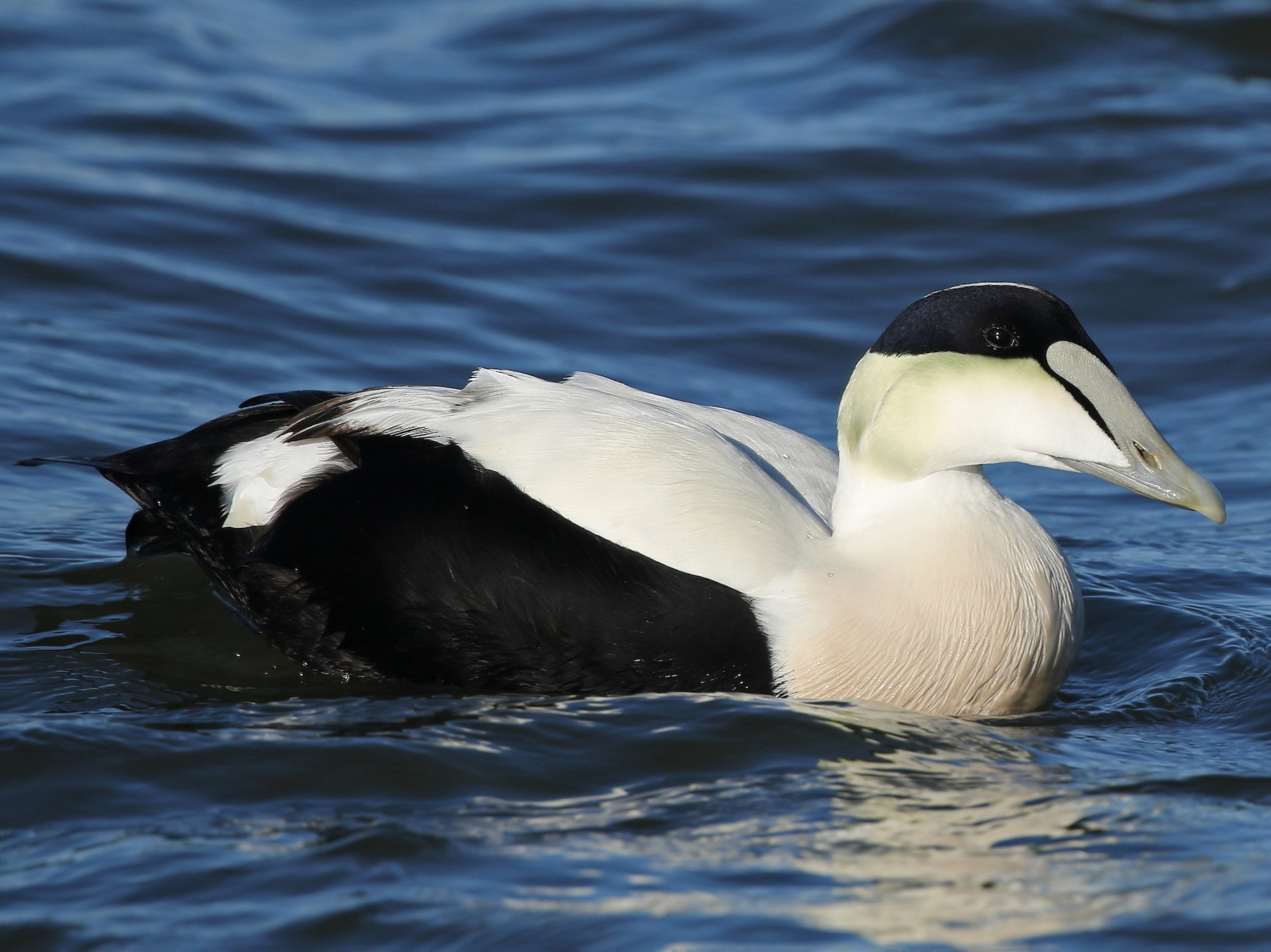Common Eider - Kojo Baidoo