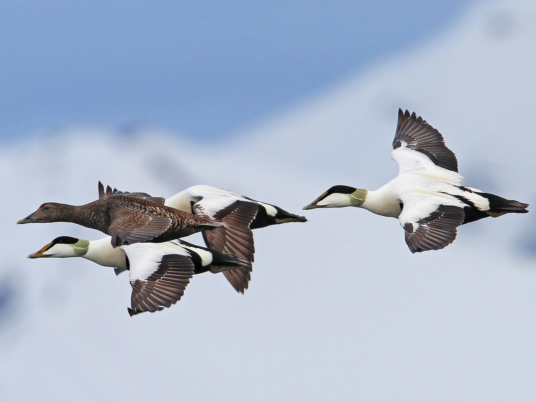 Common Eider - Christoph Moning