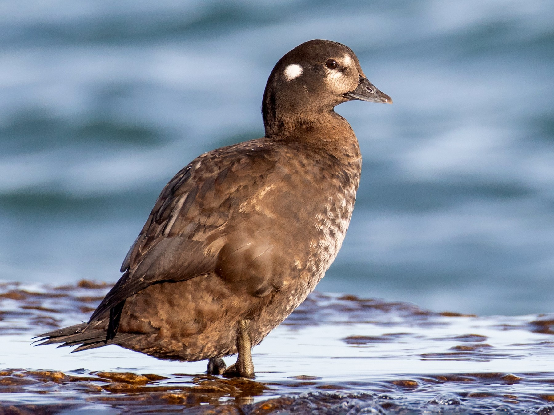 Harlequin Duck - Paul Jones