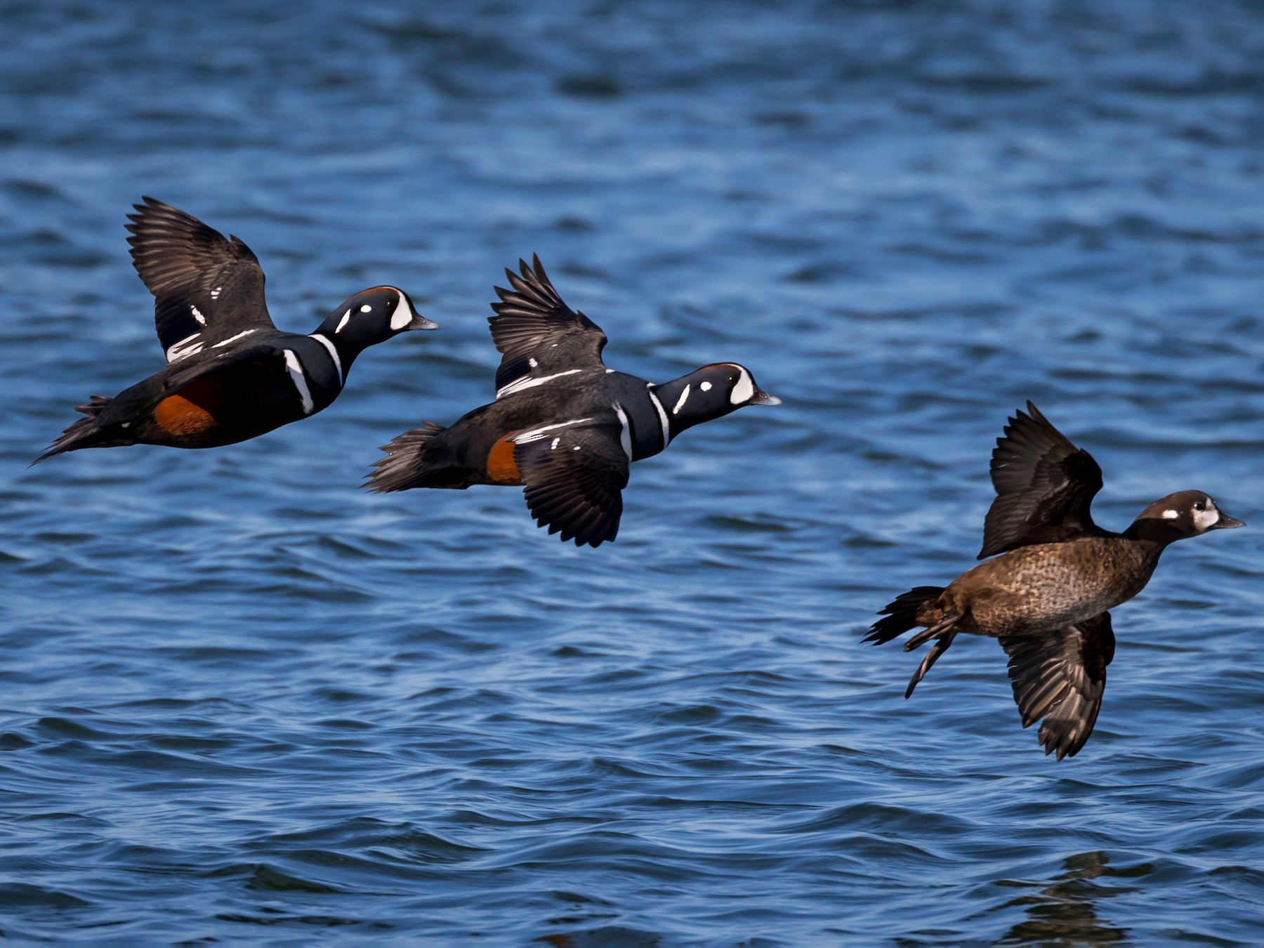 Harlequin Duck - Chris Thomas
