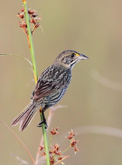 Seaside Sparrow (Cape Sable)
