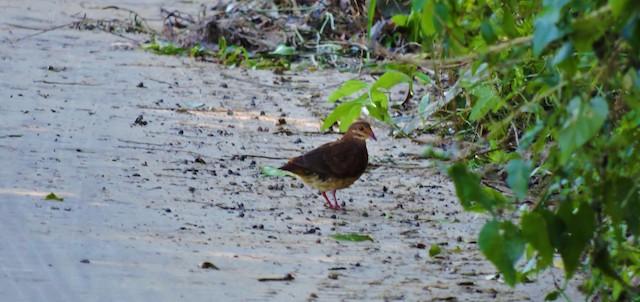 Ruddy Quail-Dove