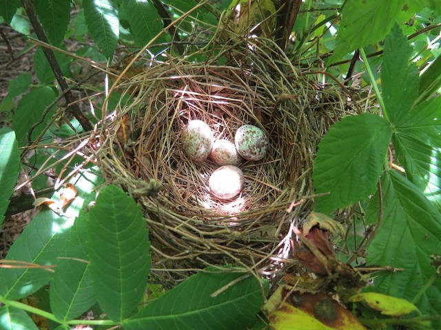 Northern Cardinal nest and eggs and Brown-headed Cowbird egg (center).