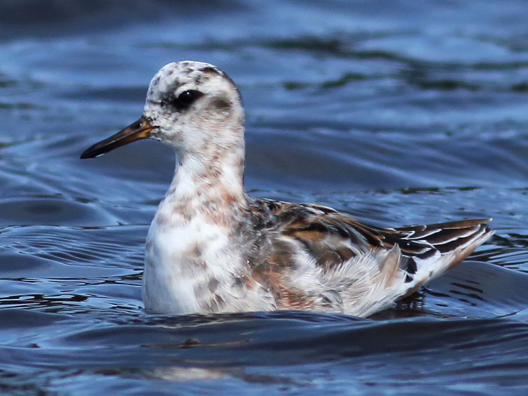 Red Phalarope - Paul Fenwick