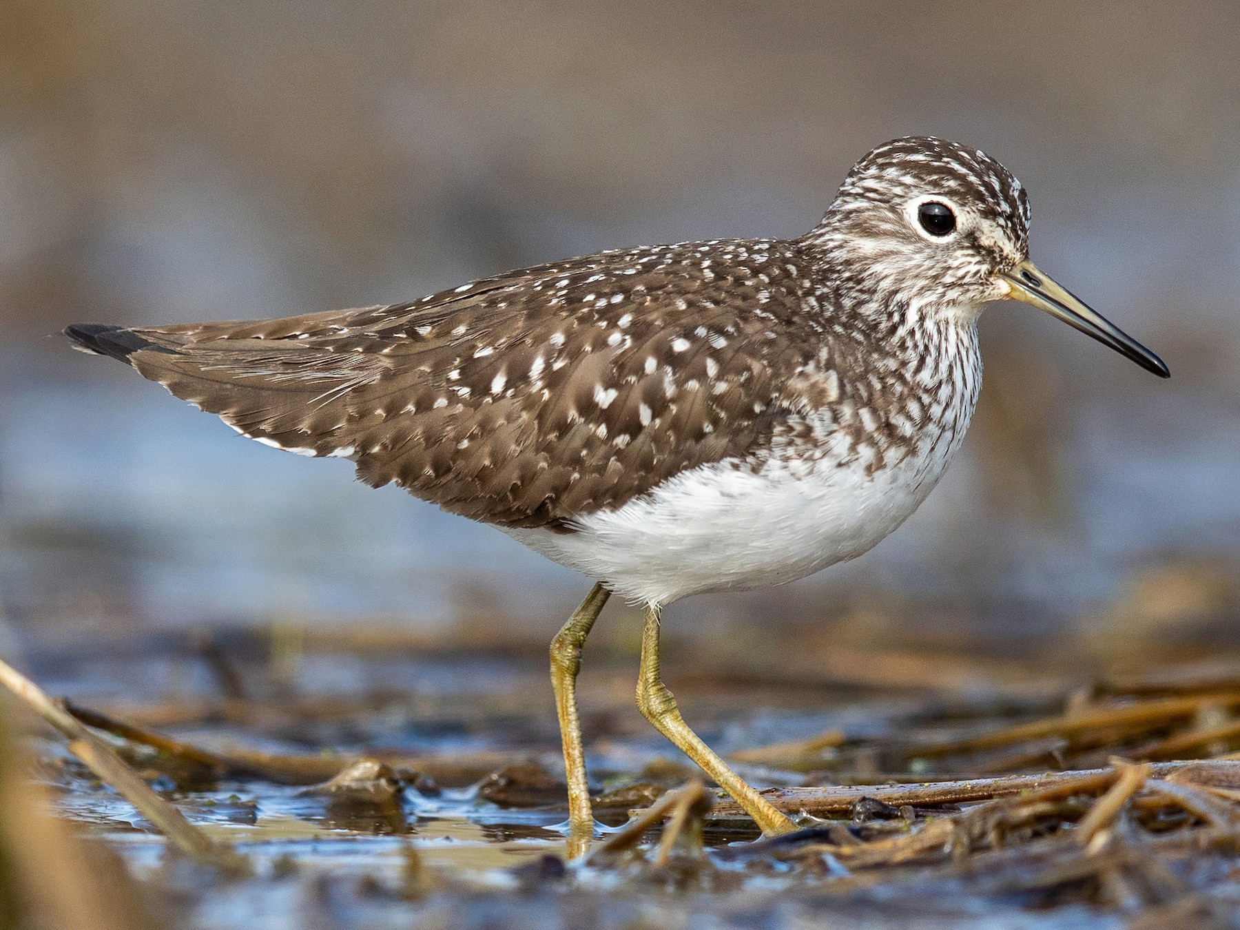 Solitary Sandpiper - Brad Imhoff