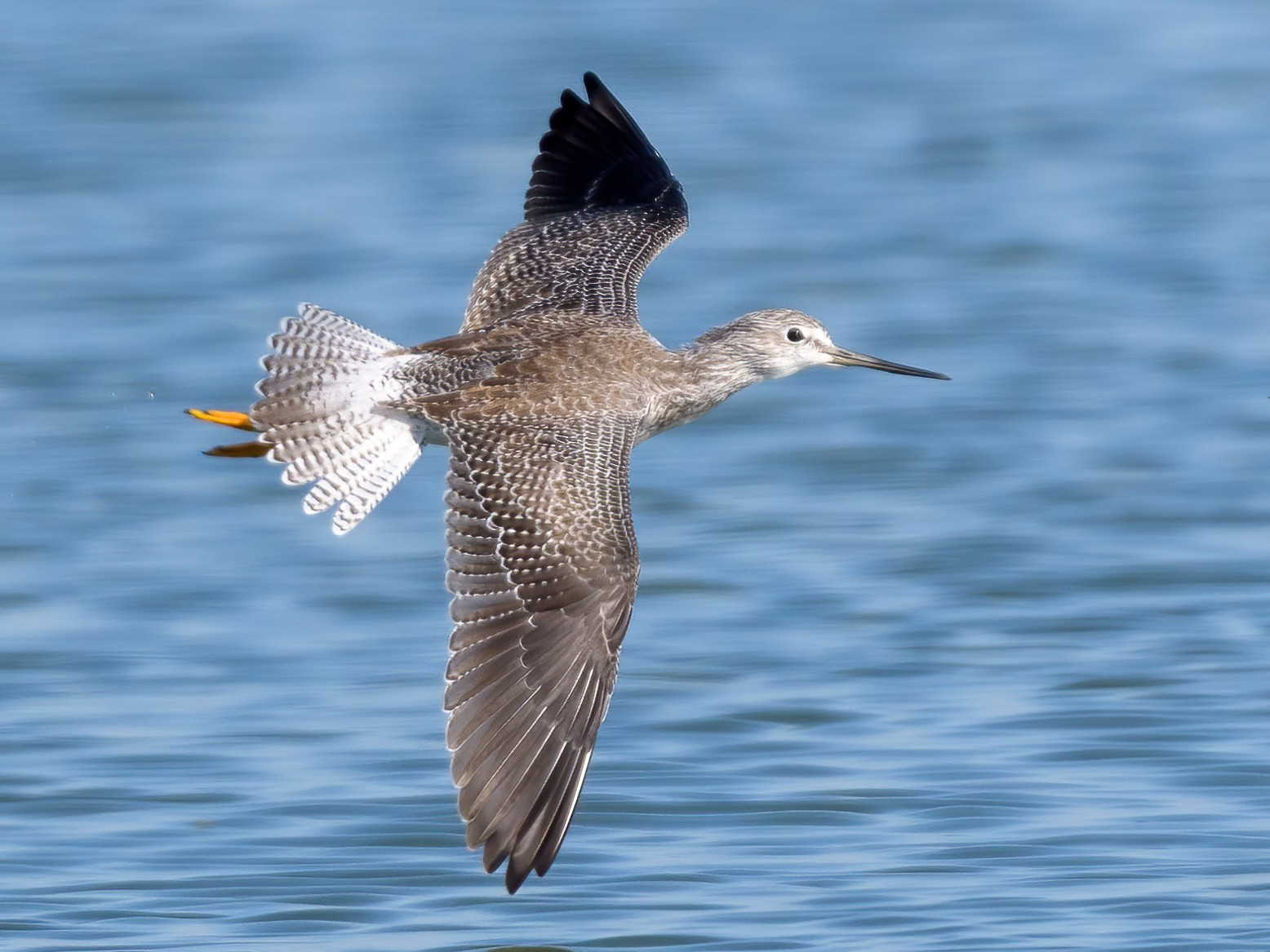 Greater Yellowlegs - Rebecca Matsubara