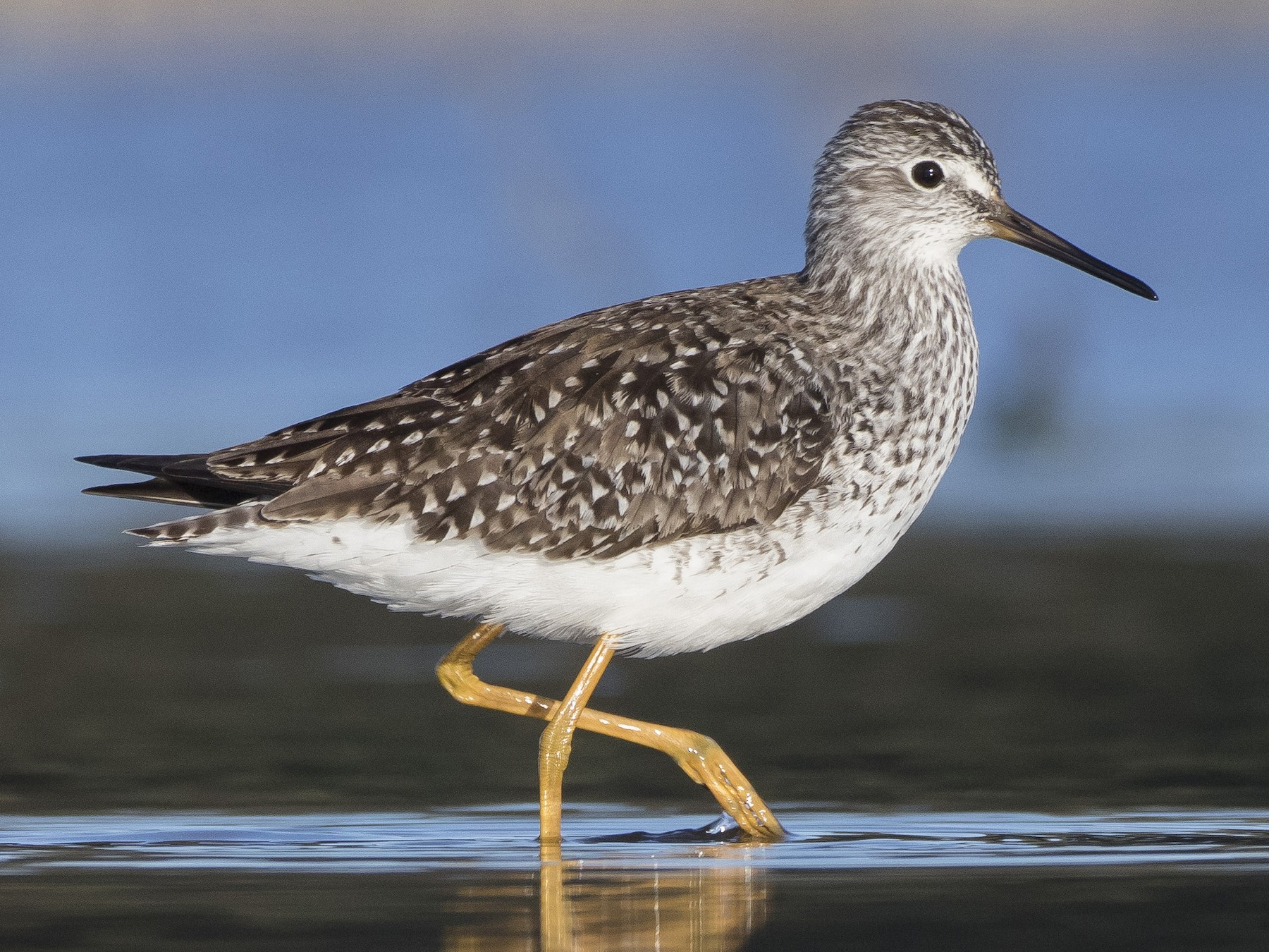 Lesser Yellowlegs - Caleb Putnam