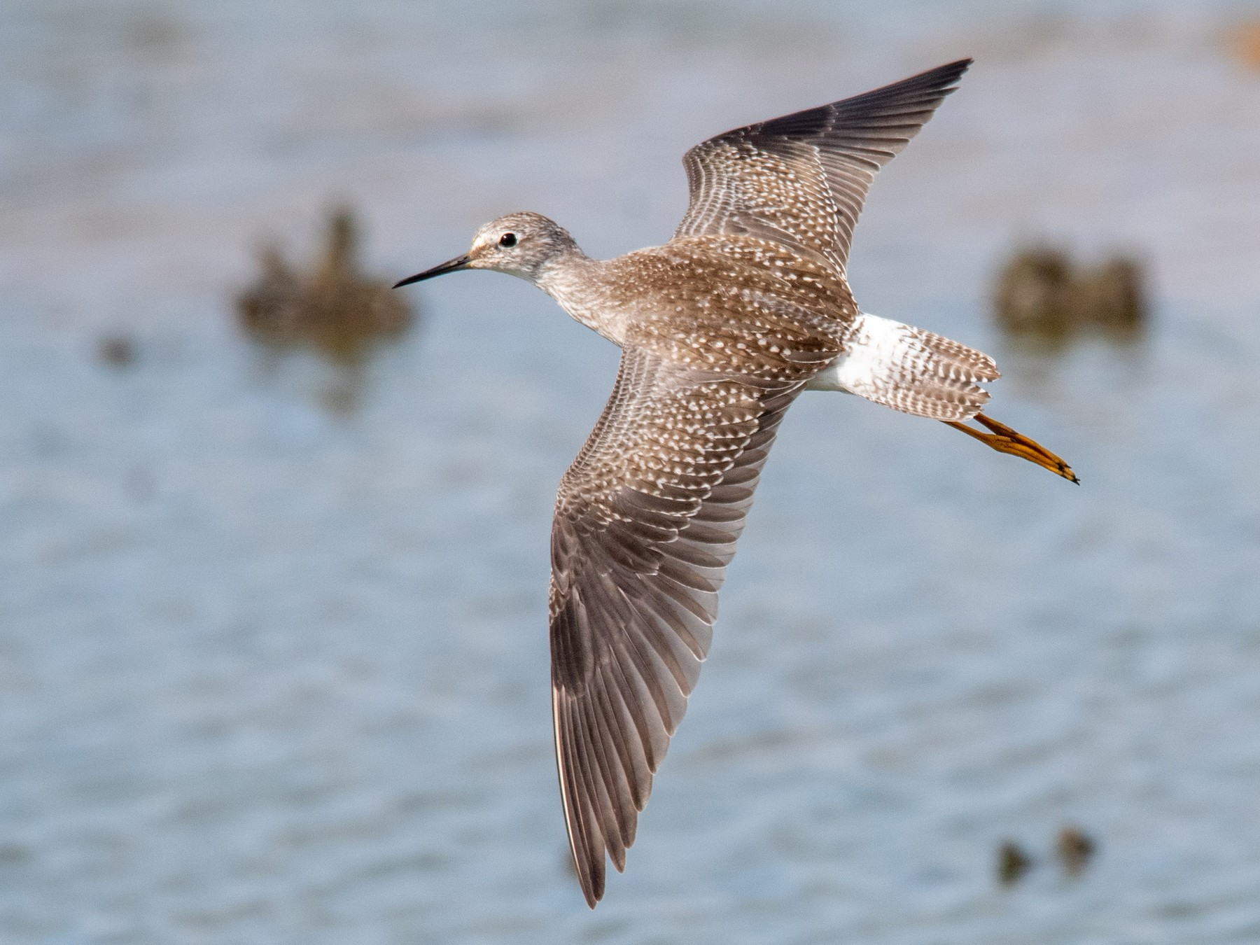 Lesser Yellowlegs - Ian Campbell