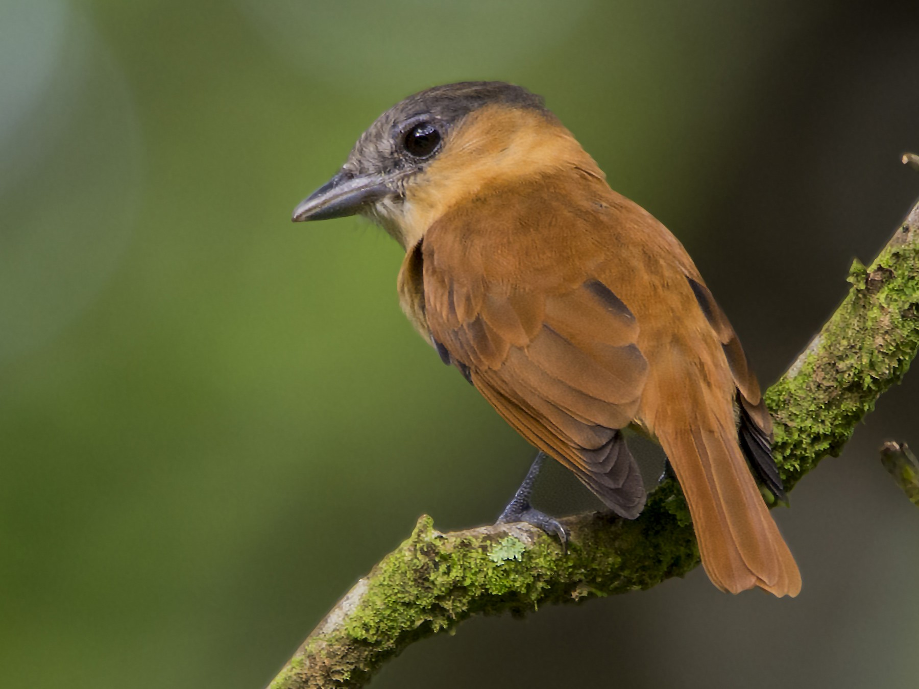 Rose-throated Becard - Leandro Arias