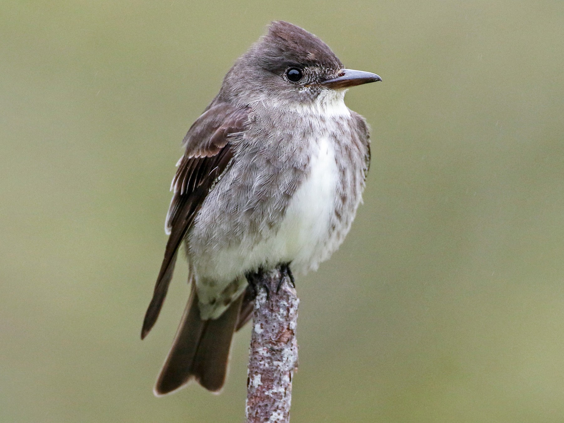 Olive-sided Flycatcher - Luke Seitz