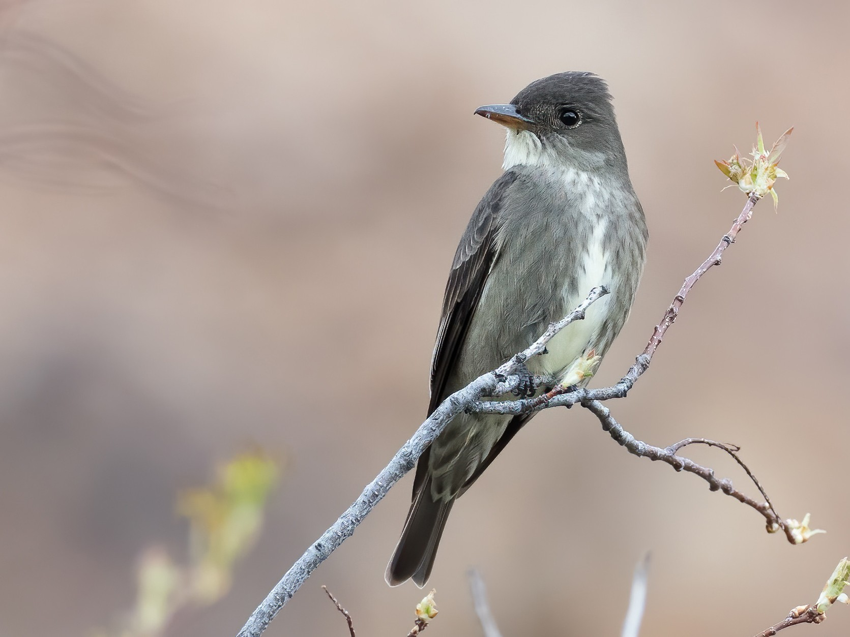 Olive-sided Flycatcher - Steve Wickliffe