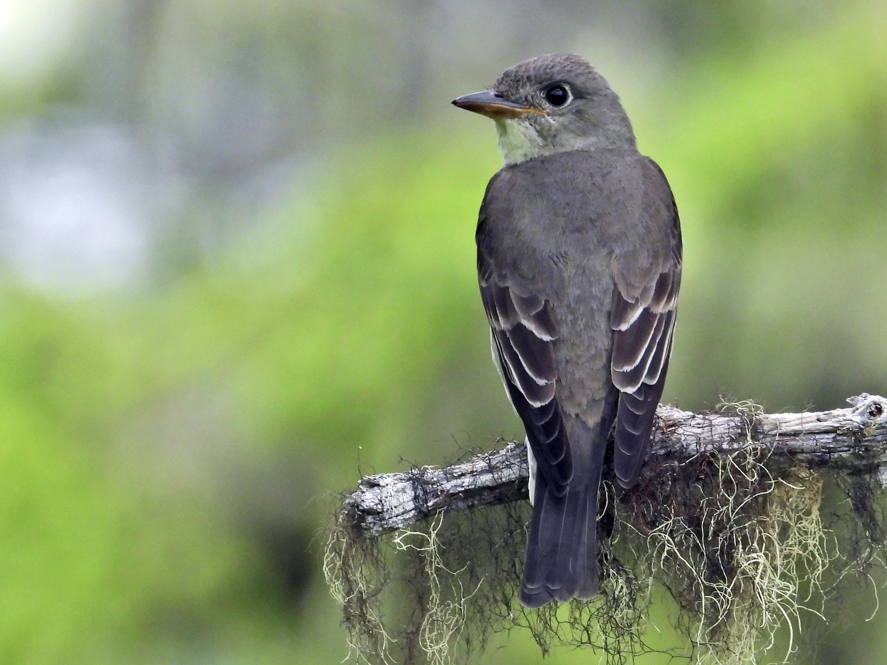 Olive-sided Flycatcher - Amy Clark Courtney