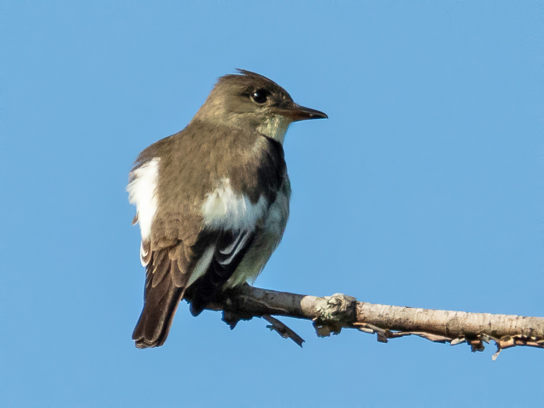 Olive-sided Flycatcher - Jean-Claude Charbonneau