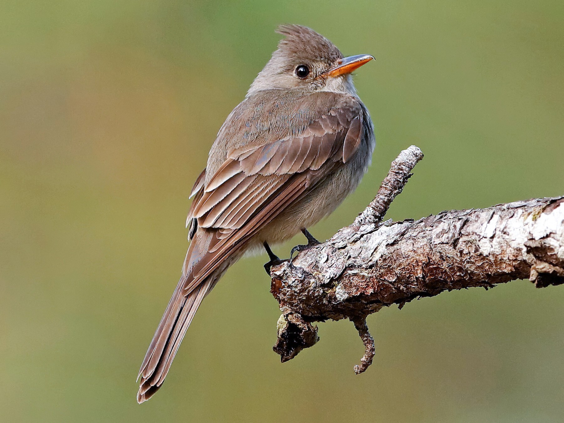 Greater Pewee - Holger Teichmann