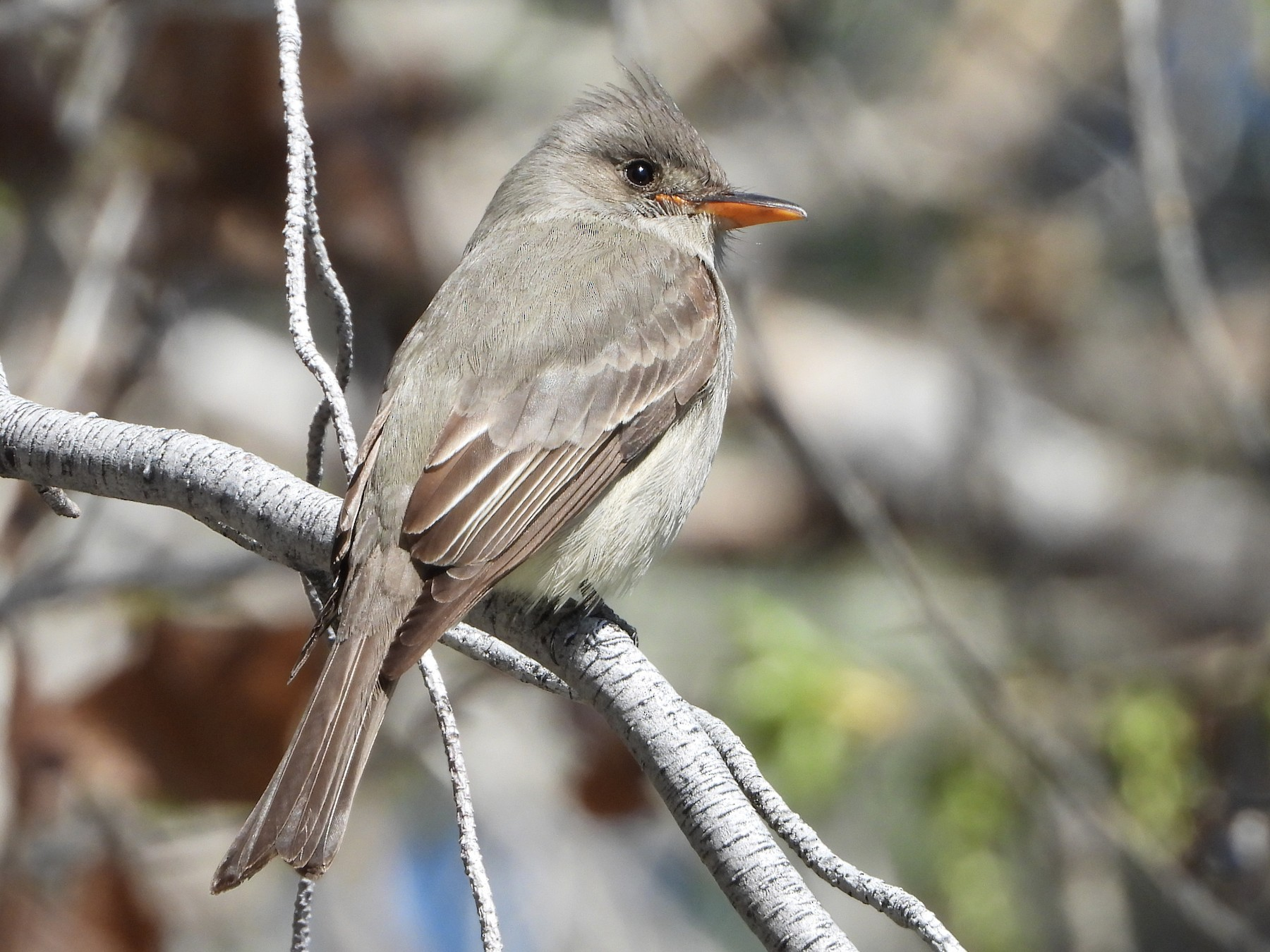 Greater Pewee - Sharla Meester
