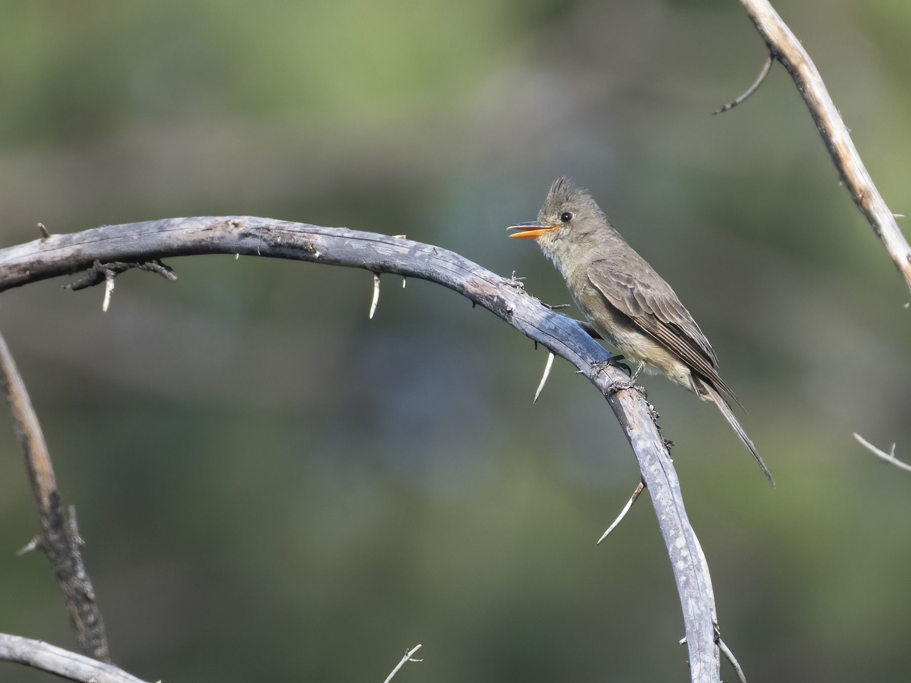 Greater Pewee - Bryan Calk
