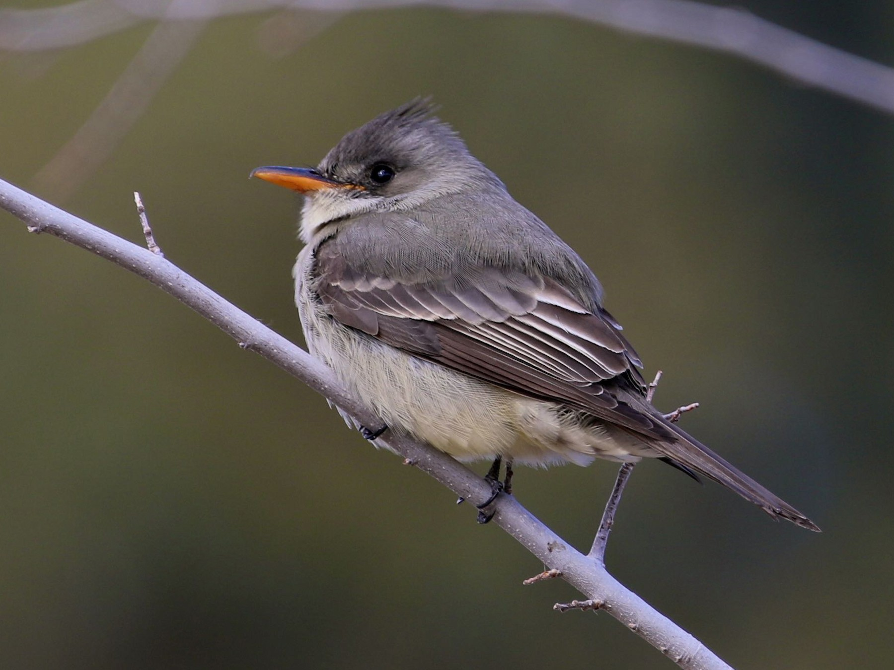 Greater Pewee - Mary Backus