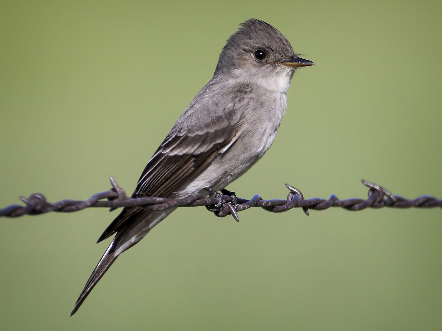 Western Wood-Pewee - Brian Peterson
