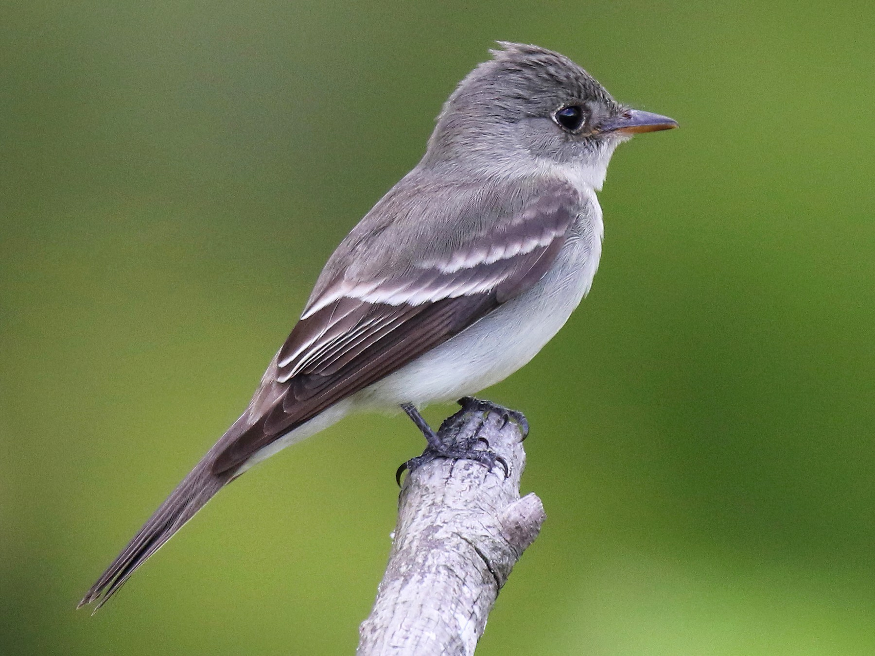 Eastern Wood-Pewee - John Deitsch