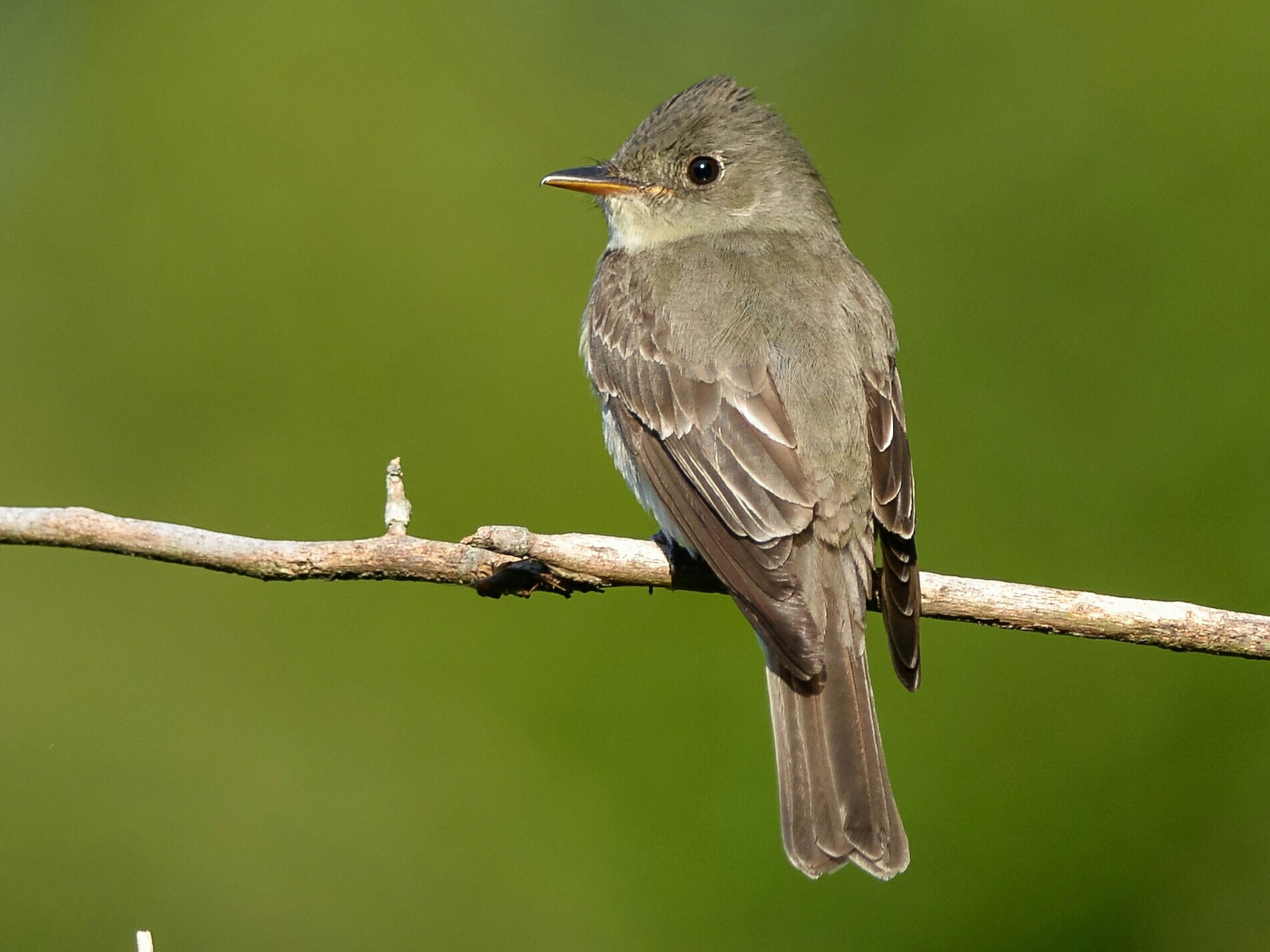 Eastern Wood-Pewee - Daniel Irons
