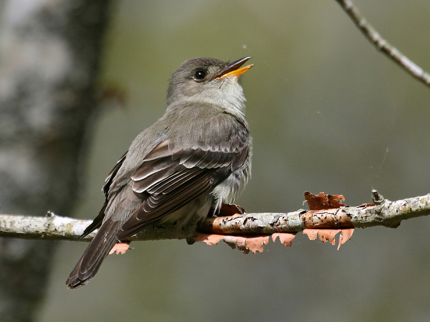 Eastern Wood-Pewee - Mary Keleher